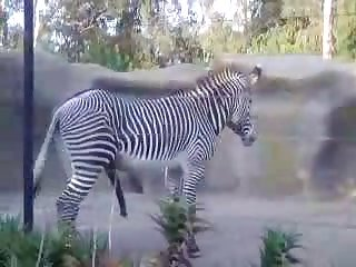 Big Male Zebra